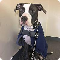 Adopt A Pet :: Apollo - Bronx, NY
