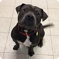 Adopt A Pet :: Gravy- Ohio - Fulton, MO