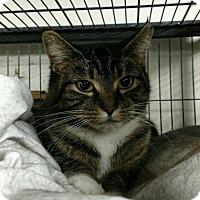 Adopt A Pet :: Sox - Saginaw, MI