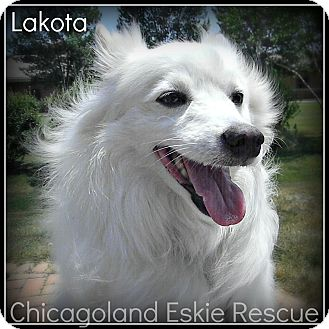 American Eskimo Dog Dog for adoption in Elmhurst, Illinois - Lakota