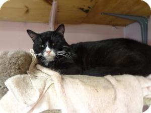 Domestic Shorthair Cat for adoption in meriden, Connecticut - Java