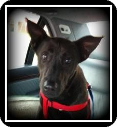 Shepherd (Unknown Type)/Labrador Retriever Mix Dog for adoption in Indian Trail, North Carolina - Charley
