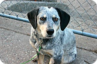 Blue Heeler/Border Collie Mix Dog for adoption in Grand Rapids, Michigan - Sasha