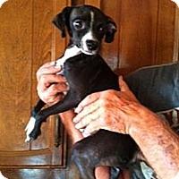 Adopt A Pet :: Bat Dog - Orange Cove, CA
