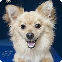 Adopt A Pet :: Zuzu - Rancho Mirage, CA