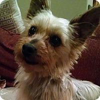 Adopt A Pet :: Yetti - Mount Gretna, PA