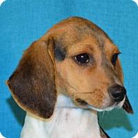 Adopt A Pet :: **LINUS** MEET FEB 13TH! - Mukwonago, WI
