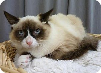 Snowshoe Cat for adoption in League City, Texas - Ms Grumpy Cat