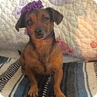 Adopt A Pet :: Chica - Ridgway, CO
