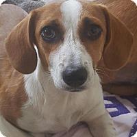 Adopt A Pet :: Bridget - Humble, TX
