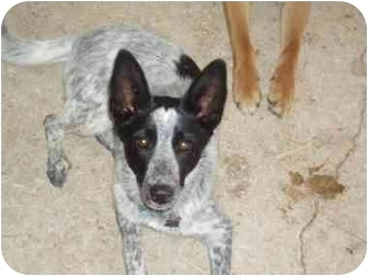 Australian Cattle Dog/Border Collie Mix Dog for adoption in Cincinnati, Ohio - SOPHIE