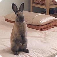 Adopt A Pet :: Tam Tam - Los Angeles, CA