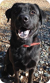 Labrador Retriever Dog for adoption in Phoenix, Arizona - Smokey