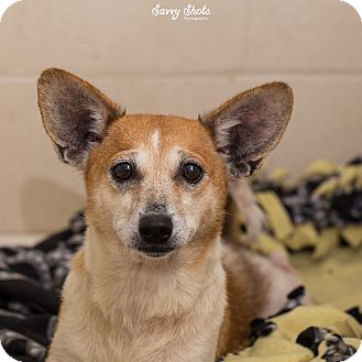 Corgi/Terrier (Unknown Type, Small) Mix Dog for adoption in Greensburg, Pennsylvania - Sky