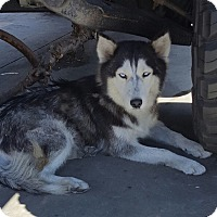 Adopt A Pet :: STORMY - Carson, CA