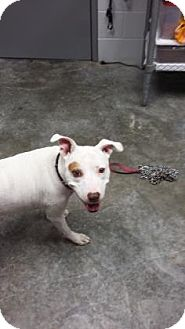 Pit Bull Terrier Mix Dog for adoption in Paducah, Kentucky - Dribble