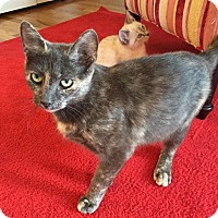 Domestic Shorthair Cat for adoption in Youngsville, North Carolina - Pearl
