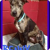 Adopt A Pet :: BENNY - White River Junction, VT