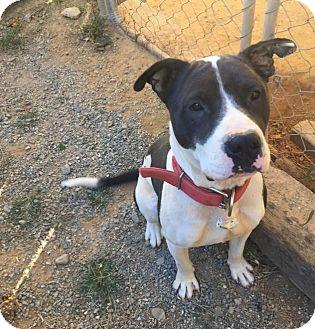 Pit Bull Terrier Mix Dog for adoption in Charlotte, North Carolina - Morgan