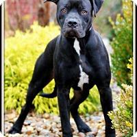 Adopt A Pet :: Ross - Dixon, KY