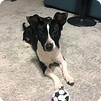 Adopt A Pet :: Milo - Schaumburg, IL