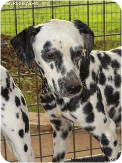 Dalmatian Dog for adoption in Newcastle, Oklahoma - Pongo