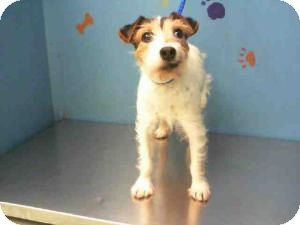 Jack Russell Terrier Dog for adoption in Houston, Texas - Daisy in Houston