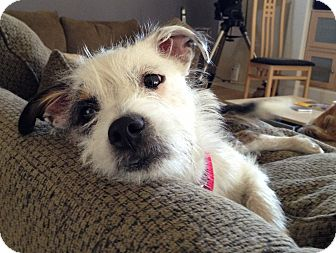 Terrier (Unknown Type, Small) Mix Dog for adoption in Phoenix, Arizona - Patches