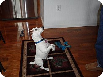 Jack Russell Terrier Mix Dog for adoption in Sparta, New Jersey - Rudy