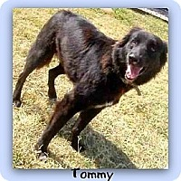 Australian Shepherd/Shepherd (Unknown Type) Mix Dog for adoption in Eddy, Texas - Tommy