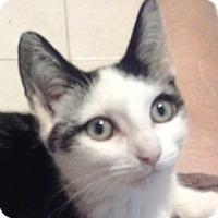 Adopt A Pet :: Toto - Long Beach, NY