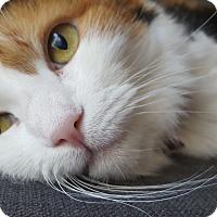Calico Cat for adoption in Scottsdale, Arizona - Snuggles