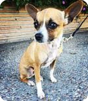 Chihuahua Mix Dog for adoption in Santa Cruz, California - April