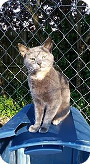 American Shorthair Cat for adoption in Williamston, North Carolina - Thelma
