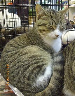 Domestic Shorthair Cat for adoption in Montreal, Quebec - Jack
