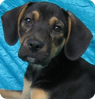 Basset Hound Mix Dog for adoption in Cuba, New York - Rosemary Gardener