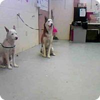 Adopt A Pet :: BLITZ - Conroe, TX