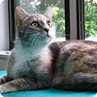 Domestic Shorthair Cat for adoption in Herndon, Virginia - Cheyenne