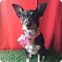 Adopt A Pet :: LULU - Santa Monica, CA