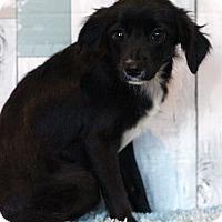 Adopt A Pet :: Kisses - Waldorf, MD