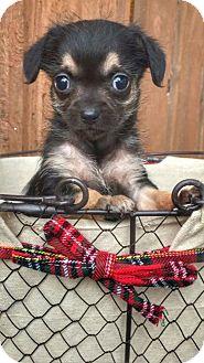 Dachshund Puppy for adoption in Weston, Florida - Myrtle