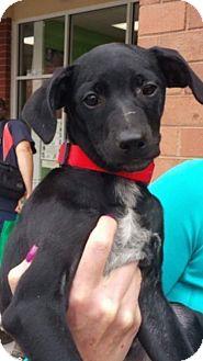 Jack Russell Terrier/Chihuahua Mix Puppy for adoption in Holly Springs, North Carolina - Flora