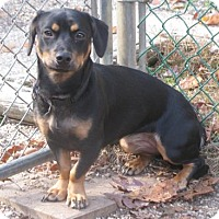 Dachshund Mix Dog for adoption in Voorhees, New Jersey - Nova