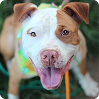 American Staffordshire Terrier Mix Dog for adoption in Cherry Hill, New Jersey - Penelope