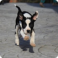 Adopt A Pet :: Payton - Waxhaw, NC