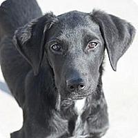 Adopt A Pet :: Scone - Mahwah, NJ