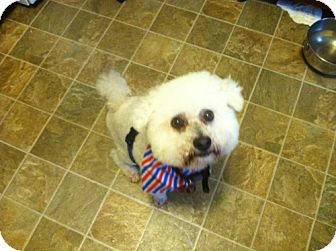Bichon Frise Mix Dog for adoption in Southampton, Pennsylvania - Fozzi Bear