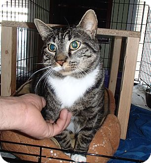 Domestic Shorthair Cat for adoption in Bedford, Virginia - Sammy