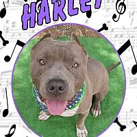 Adopt A Pet :: Harley aka