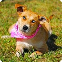 Adopt A Pet :: Sissy - Boston, MA